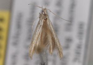 (Coleophora tyrrhaenica - TLMF Lep 04185)  @12 [ ] CreativeCommons - Attribution Non-Commercial Share-Alike (2011) Peter Huemer Tiroler Landesmuseum Ferdinandeum