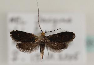 (Nemophora fasciella - TLMF Lep 05729)  @15 [ ] CreativeCommons - Attribution Non-Commercial Share-Alike (2011) Peter Huemer Tiroler Landesmuseum Ferdinandeum