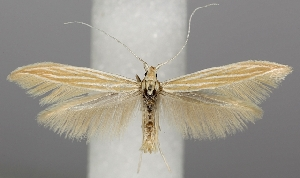 (Coleophora ramosella - TLMF Lep 06504)  @11 [ ] CreativeCommons - Attribution Non-Commercial Share-Alike (2012) Peter Huemer Tiroler Landesmuseum Ferdinandeum