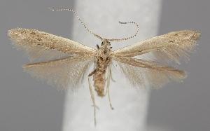 (Coleophora unipunctella - TLMF Lep 06505)  @14 [ ] CreativeCommons - Attribution Non-Commercial Share-Alike (2012) Peter Huemer Tiroler Landesmuseum Ferdinandeum