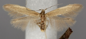 (Coleophora glitzella - TLMF Lep 06509)  @15 [ ] CreativeCommons - Attribution Non-Commercial Share-Alike (2012) Peter Huemer Tiroler Landesmuseum Ferdinandeum