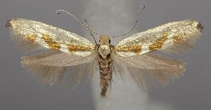 (Argyresthiidae - TLMF Lep 06593)  @15 [ ] CreativeCommons - Attribution Non-Commercial Share-Alike (2012) Peter Huemer Tiroler Landesmuseum Ferdinandeum