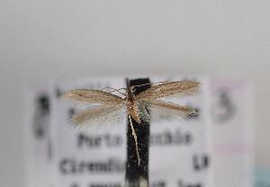 (Epidola nuraghella - TLMF Lep 06749)  @11 [ ] CreativeCommons - Attribution Non-Commercial Share-Alike (2012) Peter Huemer Tiroler Landesmuseum Ferdinandeum