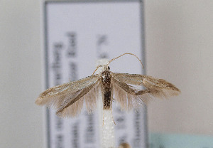 (Coleophora betulella - TLMF Lep 07529)  @15 [ ] CreativeCommons - Attribution Non-Commercial Share-Alike (2012) Peter Huemer Tiroler Landesmuseum Ferdinandeum