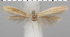 (Coleophora artemisicolella - TLMF Lep 06618)  @15 [ ] CreativeCommons - Attribution Non-Commercial Share-Alike (2012) Peter Huemer Tiroler Landesmuseum Ferdinandeum