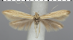 (Coleophora trochilella - TLMF Lep 06620)  @15 [ ] CreativeCommons - Attribution Non-Commercial Share-Alike (2012) Peter Huemer Tiroler Landesmuseum Ferdinandeum