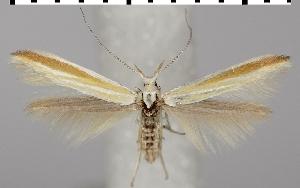 (Coleophora pseudoditella - TLMF Lep 06626)  @13 [ ] CreativeCommons - Attribution Non-Commercial Share-Alike (2012) Peter Huemer Tiroler Landesmuseum Ferdinandeum