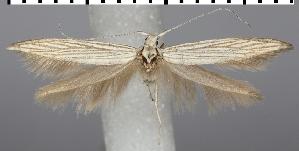 (Coleophora mareki - TLMF Lep 06638)  @15 [ ] CreativeCommons - Attribution Non-Commercial Share-Alike (2012) Peter Huemer Tiroler Landesmuseum Ferdinandeum