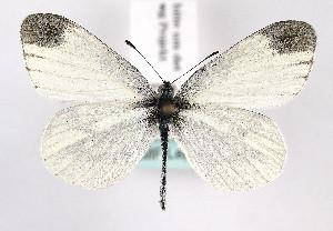 (Leptidea juvernica - TLMF Lep 09838)  @14 [ ] CreativeCommons - Attribution Non-Commercial Share-Alike (2013) Peter Huemer Tiroler Landesmuseum Ferdinandeum
