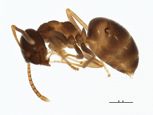 (Lasius neoniger - 10PHMAL-0727)  @15 [ ] CreativeCommons - Attribution Non-Commercial Share-Alike (2011) BIO Photography Group Biodiversity Institute of Ontario