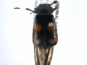 (Nicrophorus orbicollis - 10PHMAL-2432)  @14 [ ] CreativeCommons - Attribution Non-Commercial Share-Alike (2014) BIO Photography Group Biodiversity Institute of Ontario