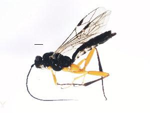 (Ichneumonidae sp. mas BIN236 - BIOUG00821-C11)  @14 [ ] CreativeCommons - Attribution Non-Commercial Share-Alike (2011) BIO Photography Group Biodiversity Institute of Ontario