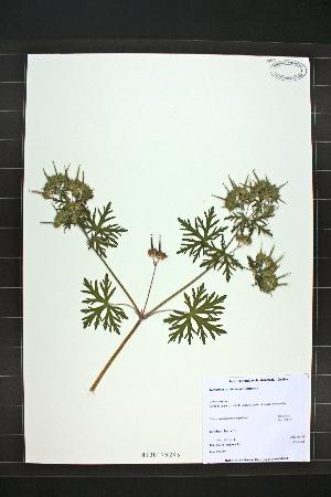 (Geranium carolinianum - MT00179243)  @11 [ ] CreativeCommons - Attribution Non-Commercial (2012) MT Herbier Marie-Victorin