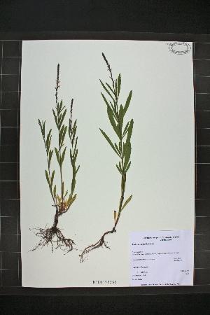 (Verbena simplex - MT00179368)  @11 [ ] CreativeCommons - Attribution Non-Commercial (2012) MT Herbier Marie-Victorin