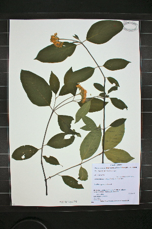 (Cornus amomum spp. obliqua - MT00179779)  @11 [ ] CreativeCommons - Attribution Non-Commercial (2012) MT Herbier Marie-Victorin