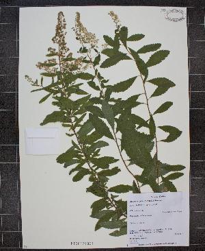 (Spiraea latifolia - MT00179831)  @11 [ ] CreativeCommons - Attribution Non-Commercial (2012) MT Herbier Marie-Victorin