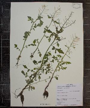 (Cardamine pensylvanica - MT00180012)  @11 [ ] CreativeCommons - Attribution Non-Commercial (2012) MT Herbier Marie-Victorin