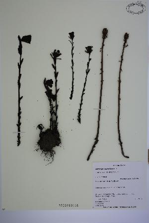 (Monotropa uniflora - MT00180138)  @11 [ ] CreativeCommons - Attribution Non-Commercial (2013) MT Herbier Marie-Victorin