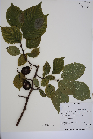 (Prunus nigra - MT00186512)  @11 [ ] CreativeCommons - Attribution Non-Commercial (2013) MT Herbier Marie-Victorin