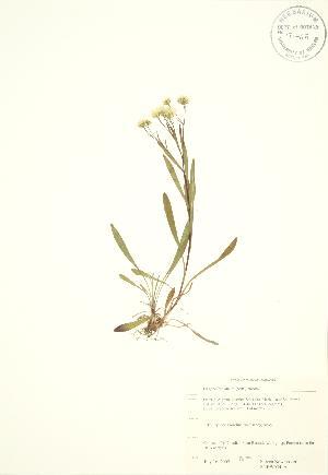 (Oligoneuron - SNEW054_A)  @11 [ ] Copyright (2009) Steven Newmaster University of Guelph BIO Herbarium