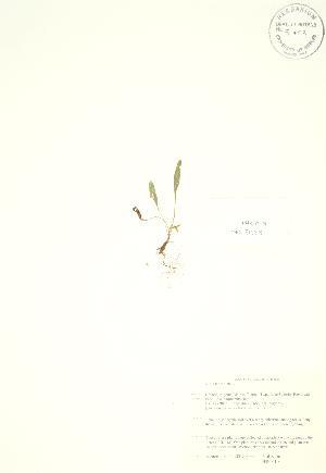 (Viola lanceolata - PHK 019)  @11 [ ] Copyright (2009) Unspecified University of Guelph BIO Herbarium