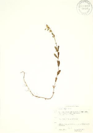 (Hypericum ellipticum - SNEW036_B)  @11 [ ] Copyright (2009) Steven Newmaster University of Guelph BIO Herbarium