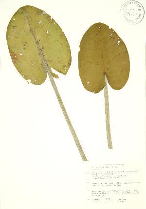 (Nuphar variegata - PHK 012)  @11 [ ] Copyright (2009) Steven Newmaster University of Guelph BIO Herbarium