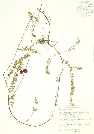 ( - PHK 006)  @11 [ ] Copyright (2009) Steven Newmaster University of Guelph BIO Herbarium