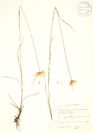 (Eriophorum virginicum - PHK 005)  @11 [ ] Copyright (2009) Steven Newmaster University of Guelph BIO Herbarium