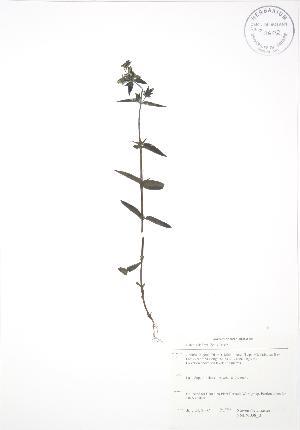 (Halenia - SNEW038_B)  @11 [ ] Copyright (2009) Steven Newmaster University of Guelph BIO Herbarium