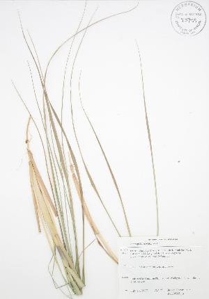 (Ammophila breviligulata - SNEW015_A)  @11 [ ] Copyright (2009) Steven Newmaster University of Guelph BIO Herbarium