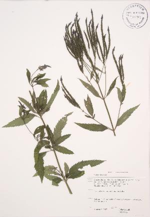( - JAG 0732)  @11 [ ] Copyright (2009) Steven Newmaster University of Guelph BIO Herbarium
