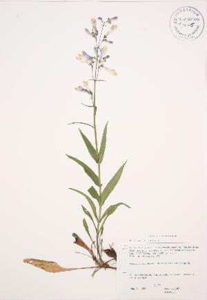 (Penstemon hirsutus - JAG 0587)  @11 [ ] Copyright (2009) Steven Newmaster University of Guelph BIO Herbarium