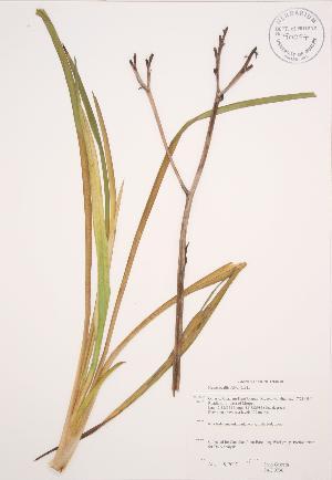 ( - JAG 0736)  @11 [ ] Copyright (2009) Steven Newmaster University of Guelph BIO Herbarium