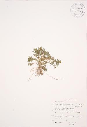(Matricaria - JAG 0600)  @11 [ ] Copyright (2009) Unspecified University of Guelph BIO Herbarium