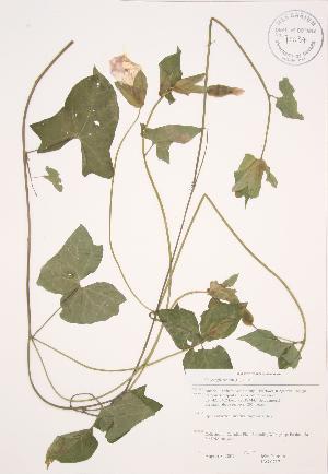 (Calystegia sepium - JAG 0717)  @11 [ ] Copyright (2009) Steven Newmaster University of Guelph BIO Herbarium