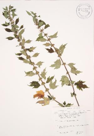 (Leonurus - JAG 0716)  @11 [ ] Copyright (2009) Unspecified University of Guelph BIO Herbarium