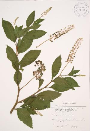 (Phytolacca americana - JAG 0700)  @11 [ ] Copyright (2009) Steven Newmaster University of Guelph BIO Herbarium