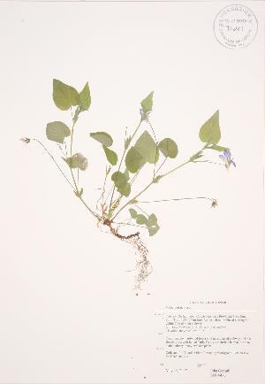 (Viola rostrata - JAG 0476)  @11 [ ] Copyright (2009) Steven Newmaster University of Guelph BIO Herbarium