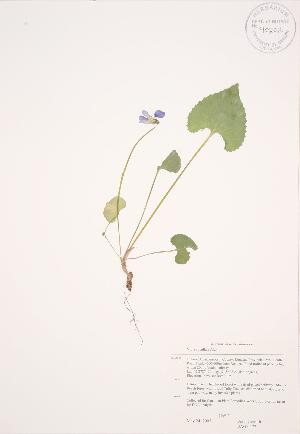 (Viola cucullata - JAG 0477)  @11 [ ] Copyright (2009) Steven Newmaster University of Guelph BIO Herbarium