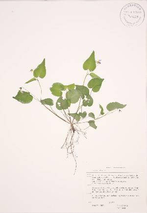 (Viola canadensis - JAG 0468)  @11 [ ] Copyright (2009) Steven Newmaster University of Guelph BIO Herbarium