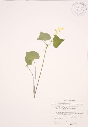 (Viola pubescens - JAG 0470)  @11 [ ] Copyright (2009) Steven Newmaster University of Guelph BIO Herbarium