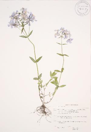 (Phlox divaricata - JAG 0496)  @11 [ ] Copyright (2009) Steven Newmaster University of Guelph BIO Herbarium