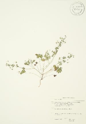 (Geranium pusillum - JAG 0696)  @11 [ ] Copyright (2009) Steven Newmaster University of Guelph BIO Herbarium