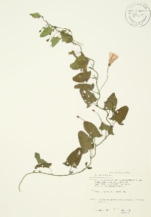 (Convolvulus - JAG 0692)  @11 [ ] Copyright (2009) Unspecified University of Guelph BIO Herbarium