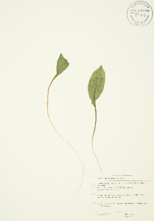 (Erythronium americanum - JAG 0533)  @11 [ ] Copyright (2009) Unspecified University of Guelph BIO Herbarium