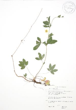 (Potentilla simplex - JAG 0544)  @11 [ ] Copyright (2009) Unspecified University of Guelph BIO Herbarium