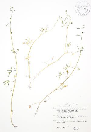 (Floerkea - JAG 0557)  @11 [ ] Copyright (2009) Steven Newmaster University of Guelph BIO Herbarium
