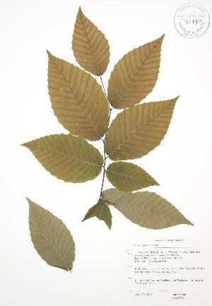 (Fagus grandifolia - JAG 0558)  @11 [ ] Copyright (2009) Steven Newmaster University of Guelph BIO Herbarium