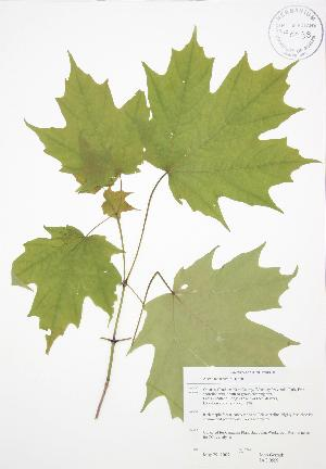 ( - JAG 0559)  @11 [ ] Copyright (2009) Steven Newmaster University of Guelph BIO Herbarium